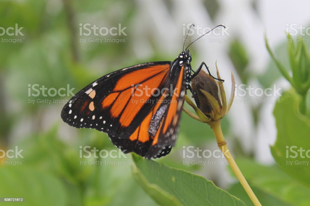 Danaus plexippus portoricensis stock photo