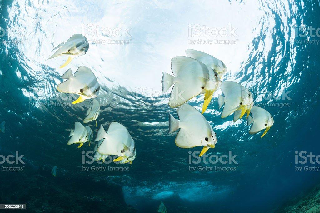 Dance in the Light, Longfin Batfishes, Raja Ampat, Indonesia stock photo