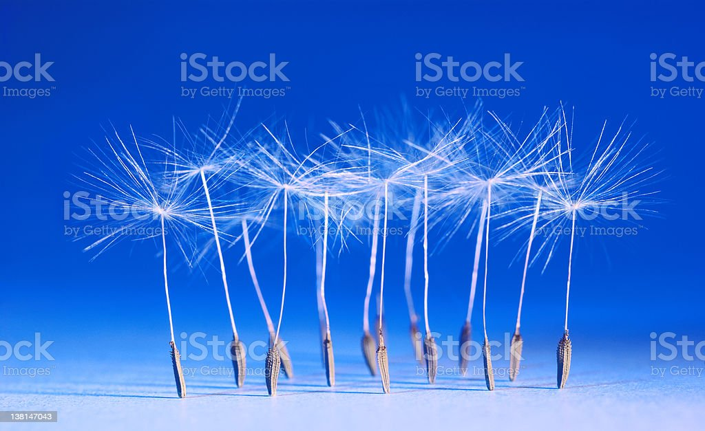 Dance of dandelions royalty-free stock photo
