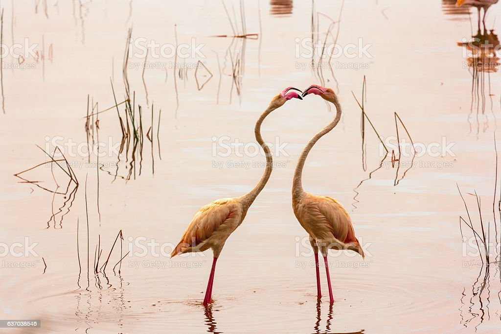 Dance of love. Dancing flamingos at Lake Nakuru. Kenya. stock photo