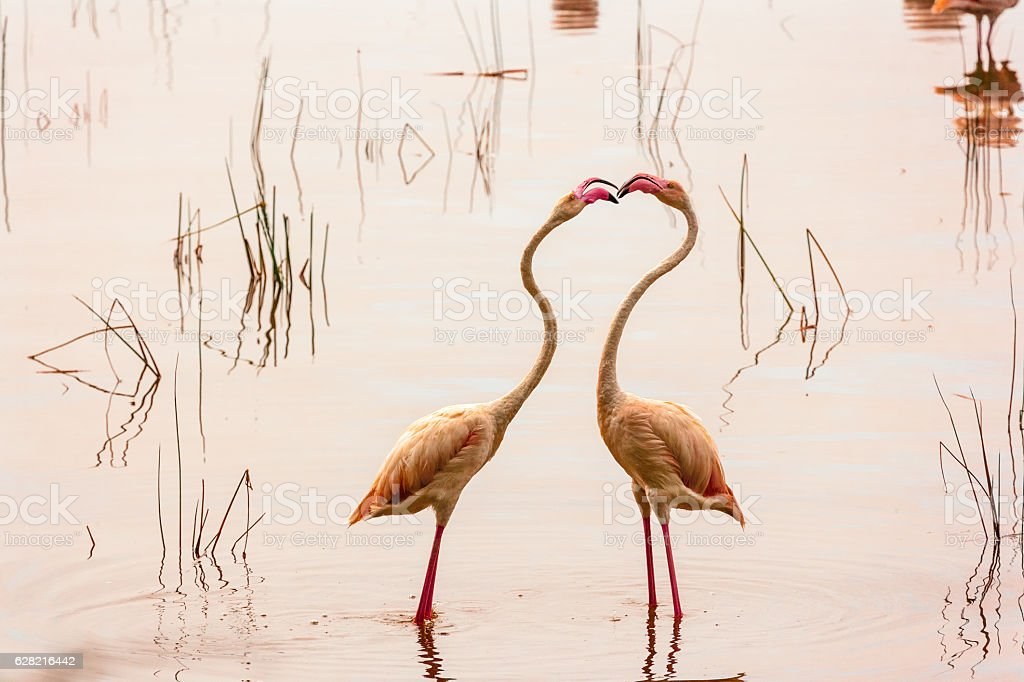 Dance of love. Dancing flamingos at Lake Nakuru. stock photo
