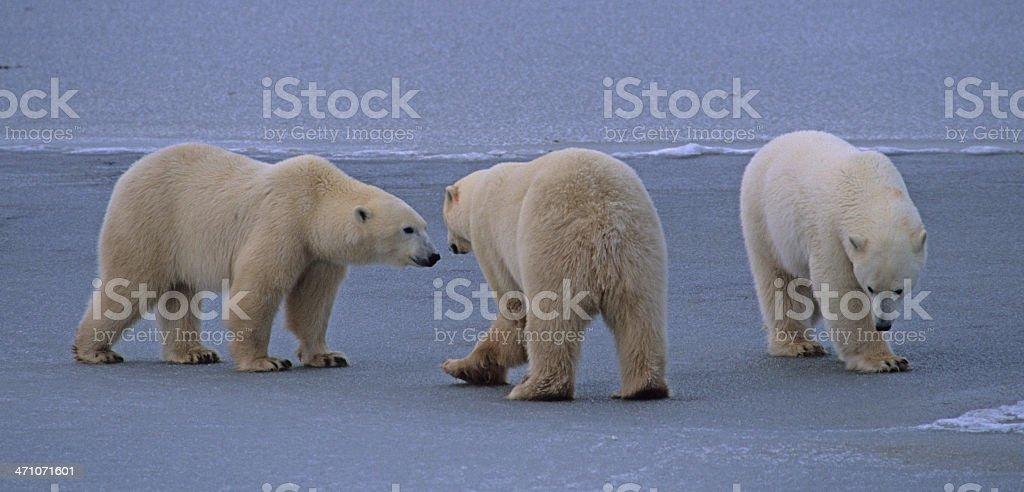 Dance of the Polar Bears royalty-free stock photo