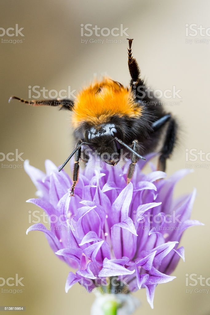 Dancing Bee on a purple, flowering Chive stock photo