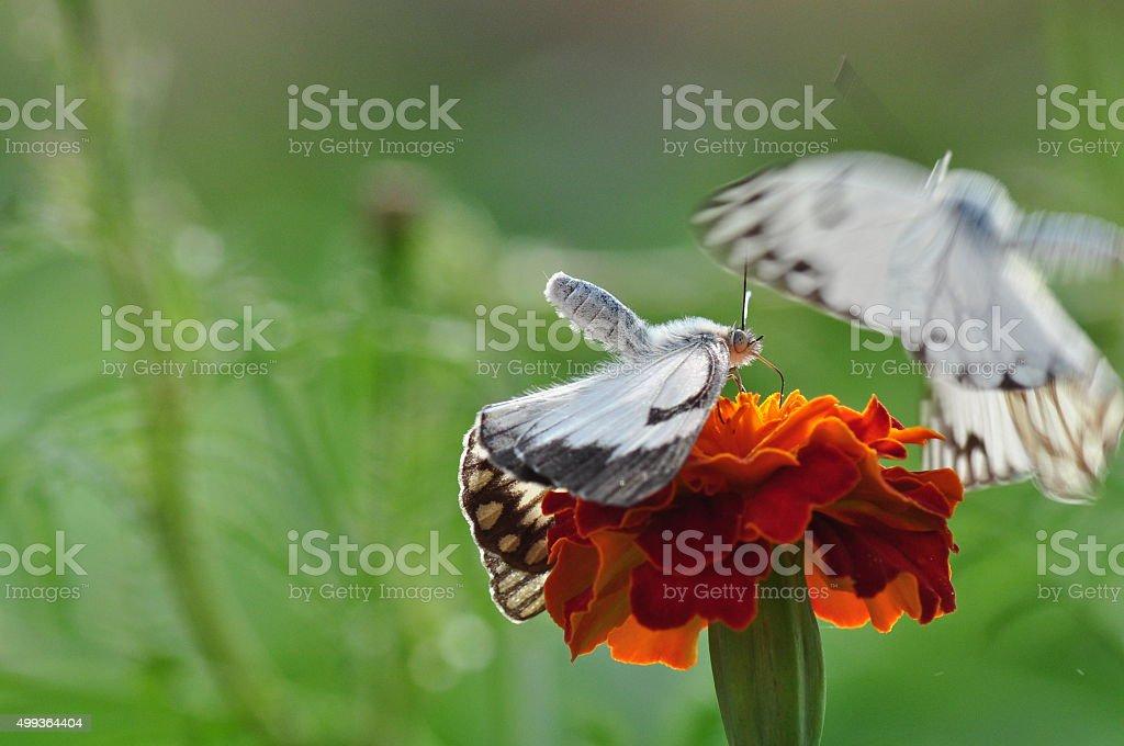 Dancing butterflies on blooming flower stock photo