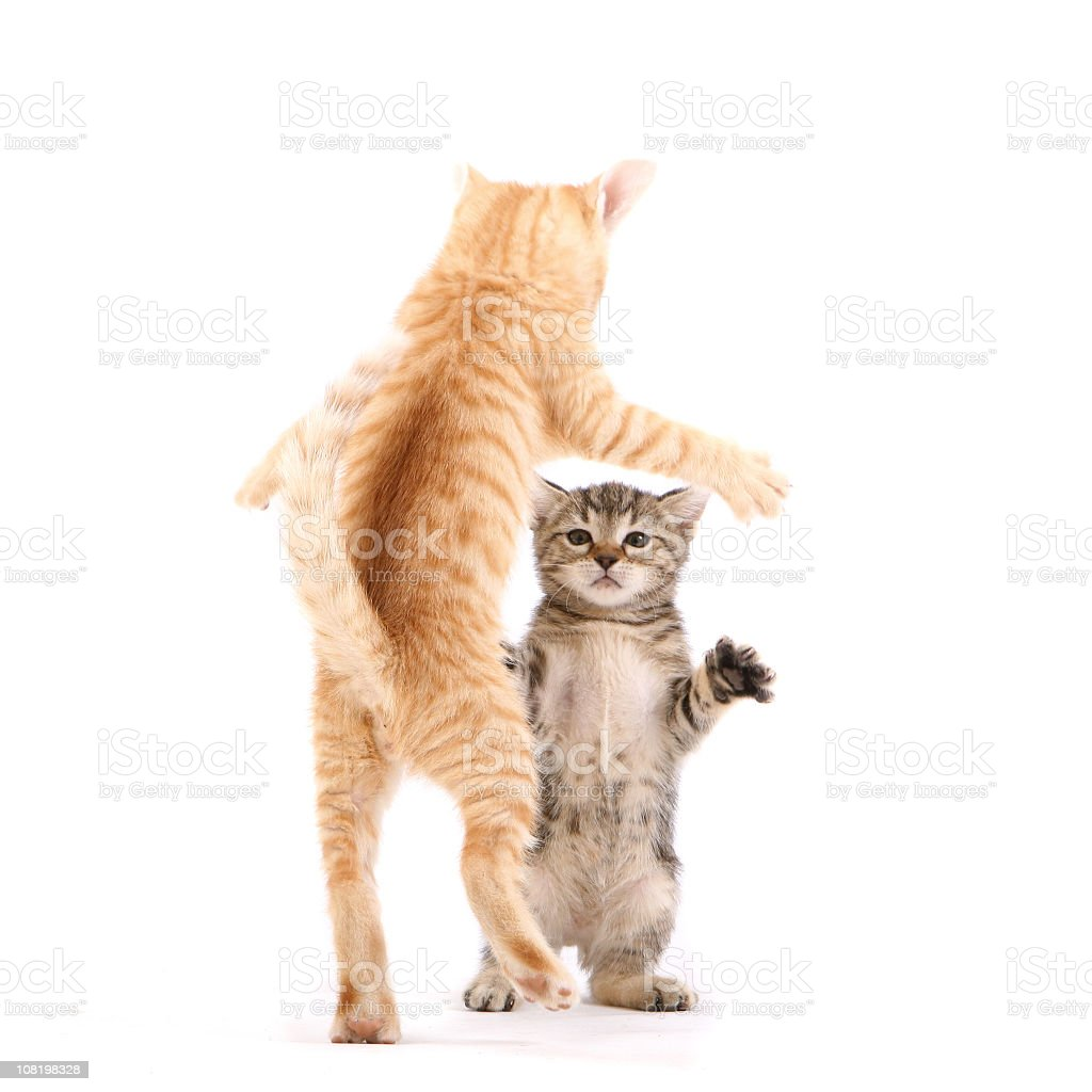 Dancing Cats stock photo