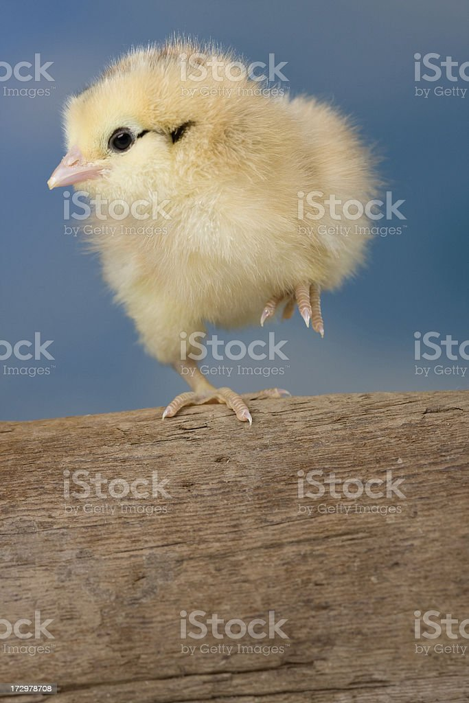 Dancing chick royalty-free stock photo