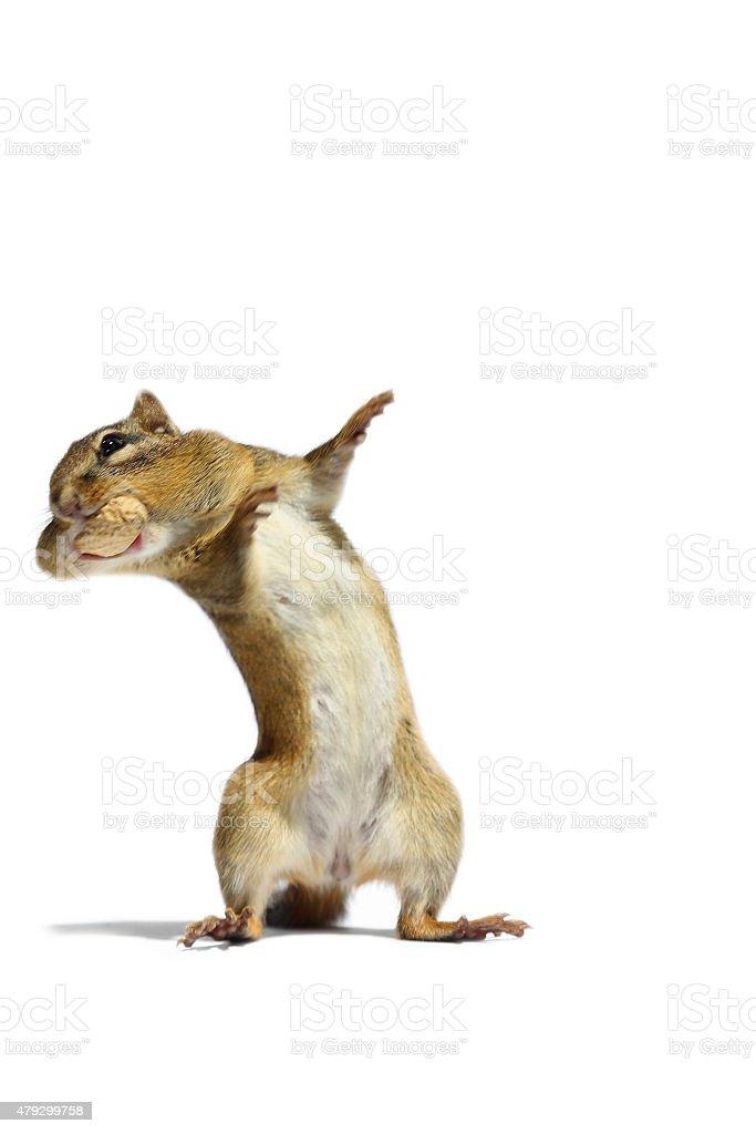 Dancing Chipmunk stock photo