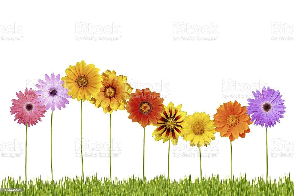 Dancing daisies royalty-free stock photo