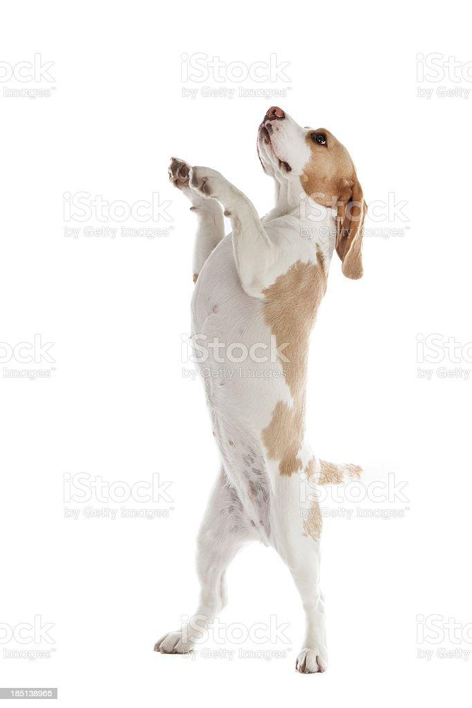 dancing dog beagle stock photo