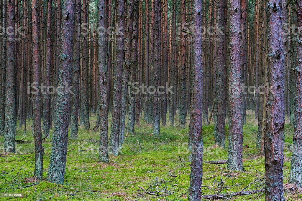 Dancing Forest on the Curonian Spit stock photo