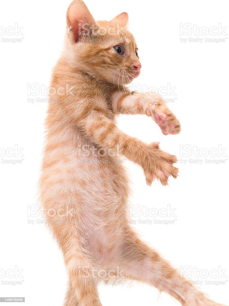 dancing kitten royalty-free stock photo