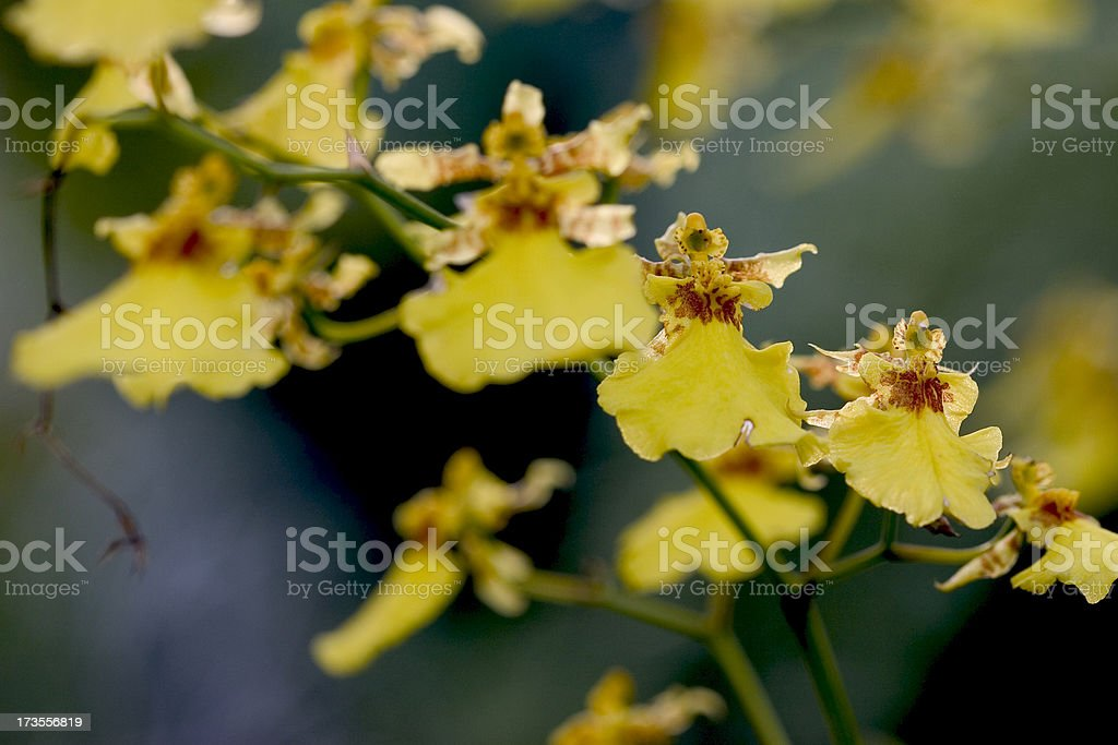 Dancing Lady Orchid 2 stock photo