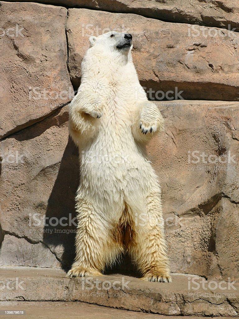 Dancing Polar Bear stock photo