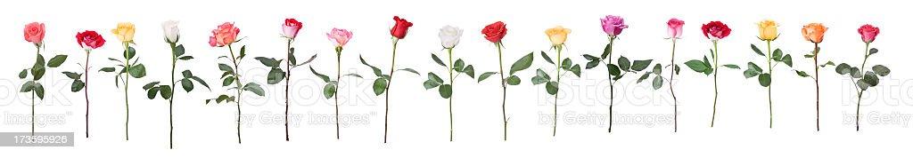 Dancing Roses stock photo