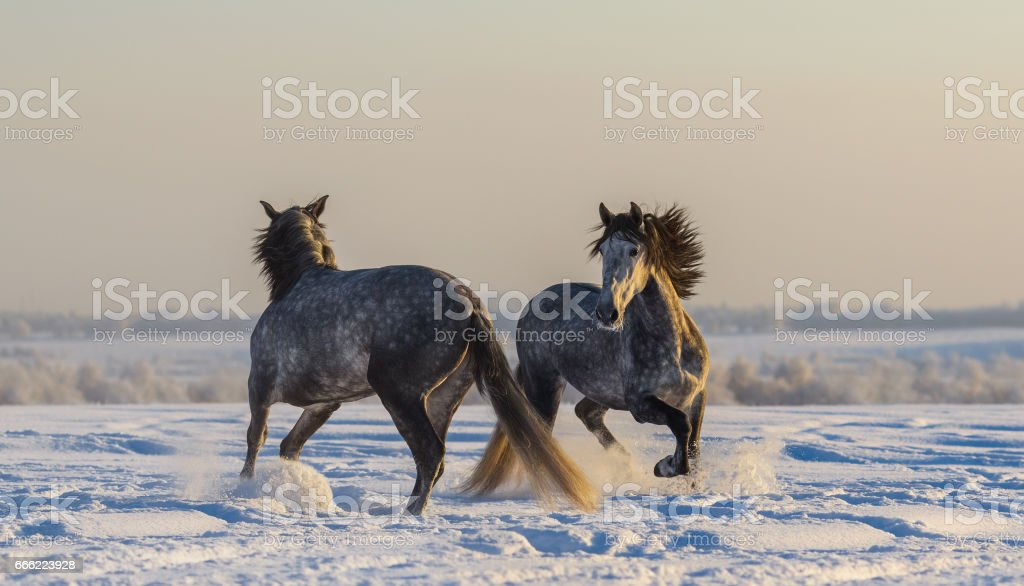 Dancing Spanish horses. Two Andalusian gray stallions playing on winter pasturage stock photo