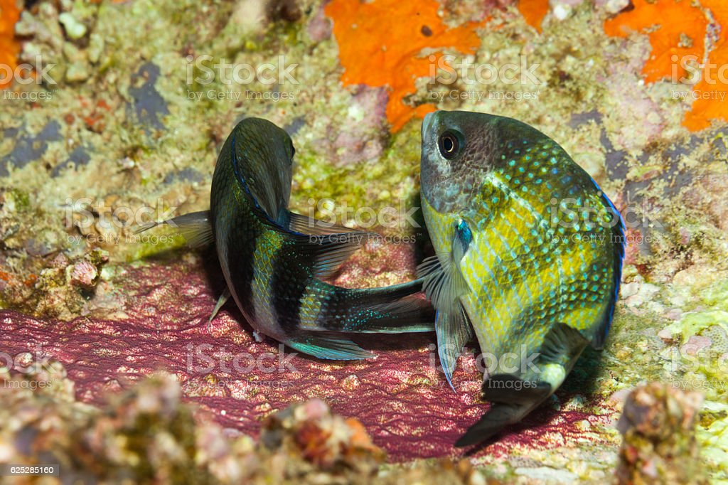 Dancing with Eggs, Spawning Indo-Pacific Sergeants Abudefduf Vaigiensis, Praslin, Seychelles stock photo