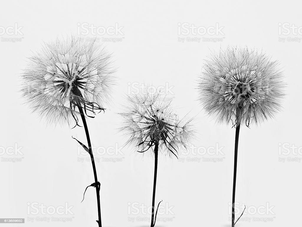 Dandelion 3 stock photo