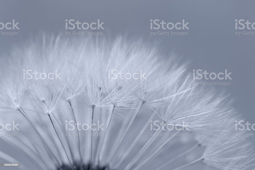 Dandelion abstract background stock photo