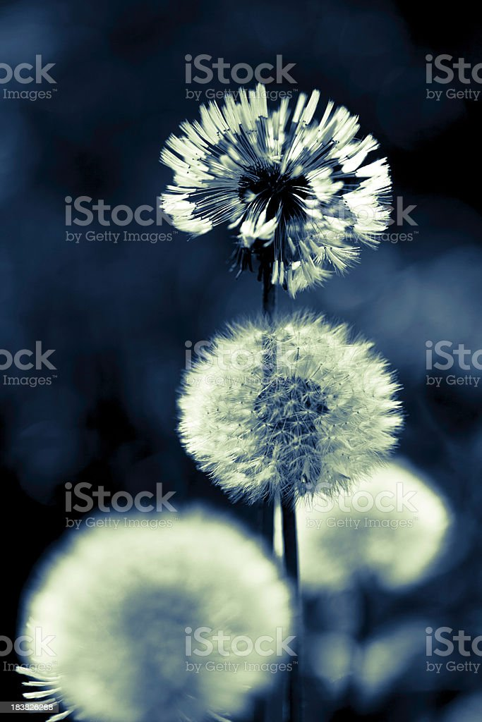 Dandelion abstract royalty-free stock photo