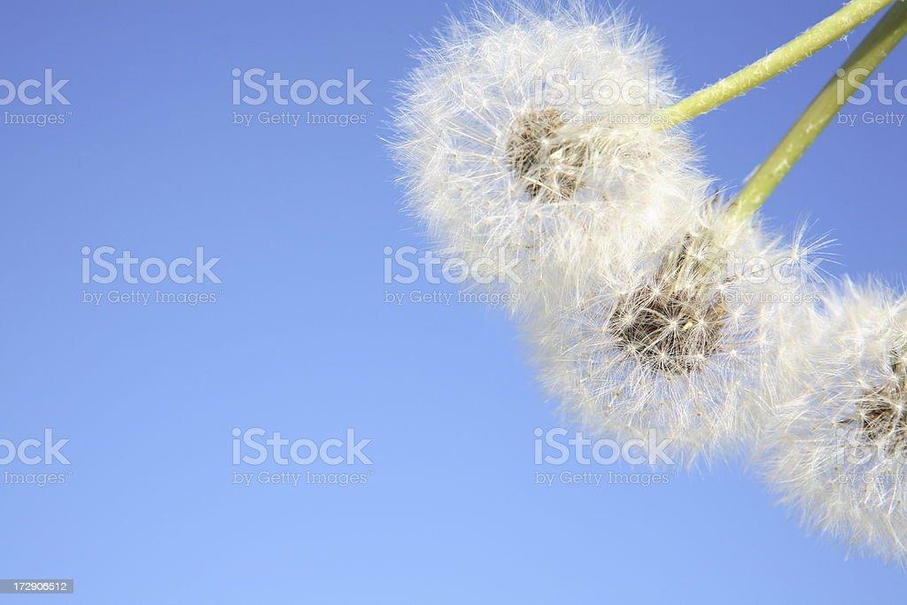 Dandelion against Sky stock photo