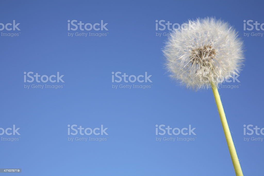 Dandelion against Sky stock photo