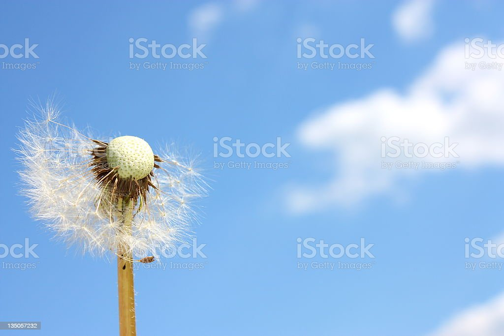 Dandelion and Blue Sky royalty-free stock photo