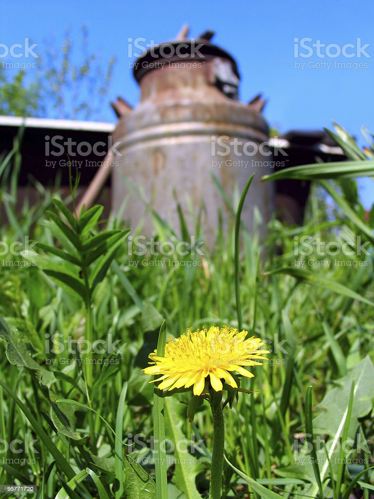 dandelion and cask royalty-free stock photo