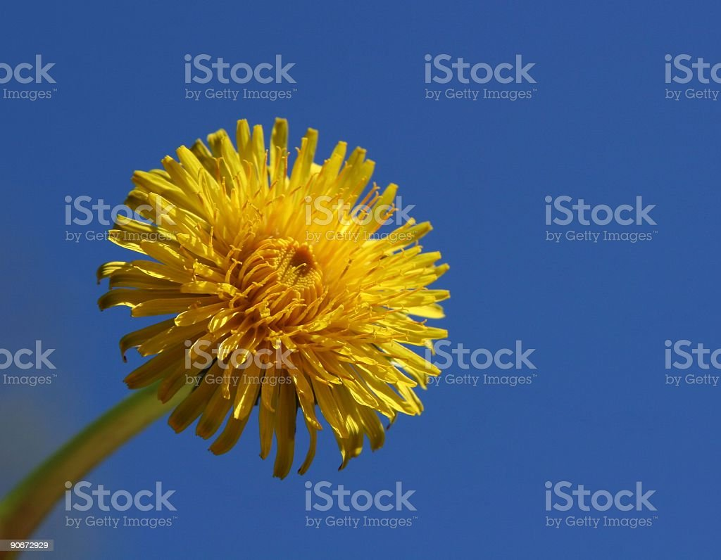Dandelion And Clear Blue Sky royalty-free stock photo