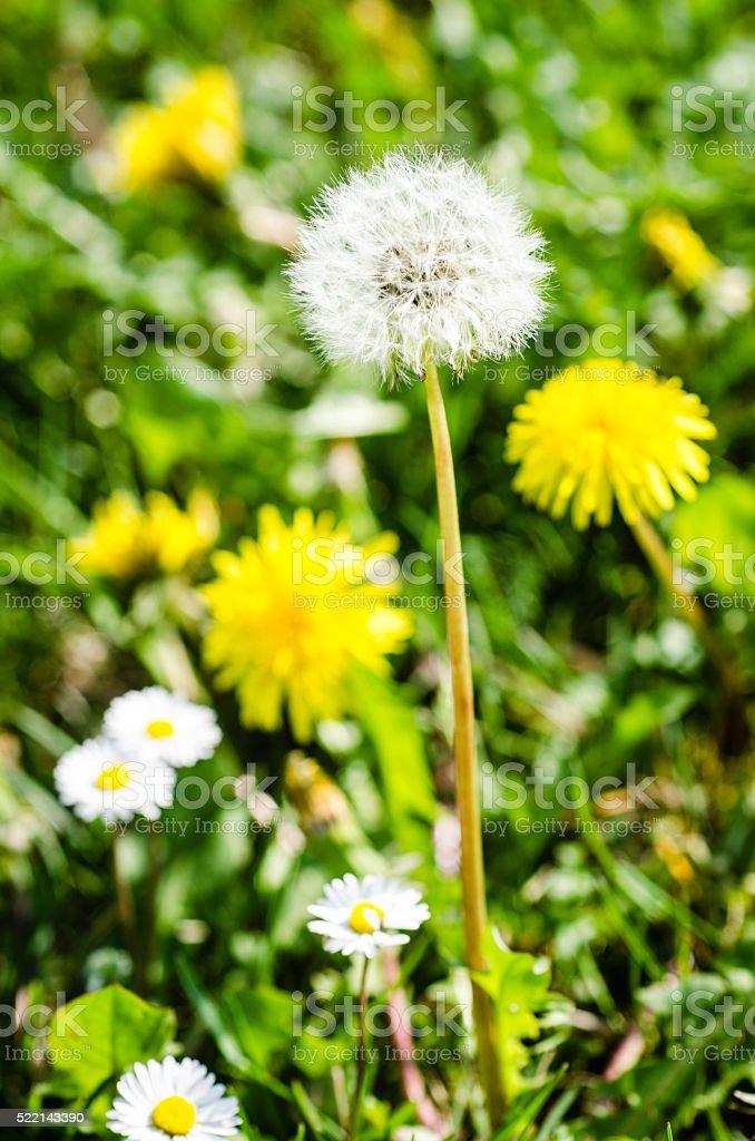 Dandelion and Daisy Flower stock photo