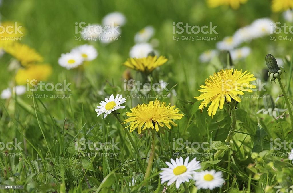 dandelion  and daisy stock photo