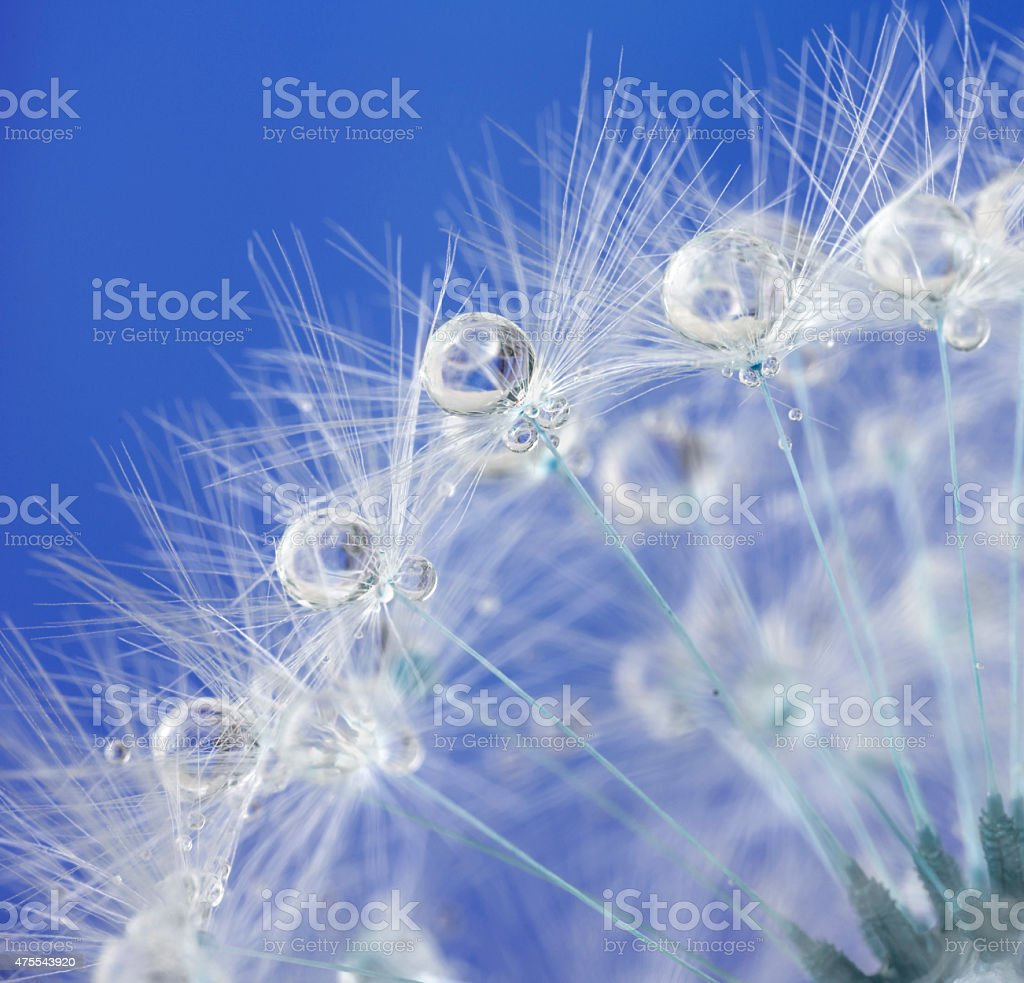 Dandelion and dew drops - Abstract Macro like alien landscape stock photo