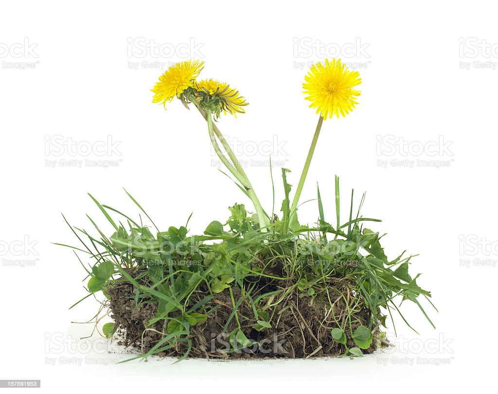 Dandelion and Dirt Isolated stock photo