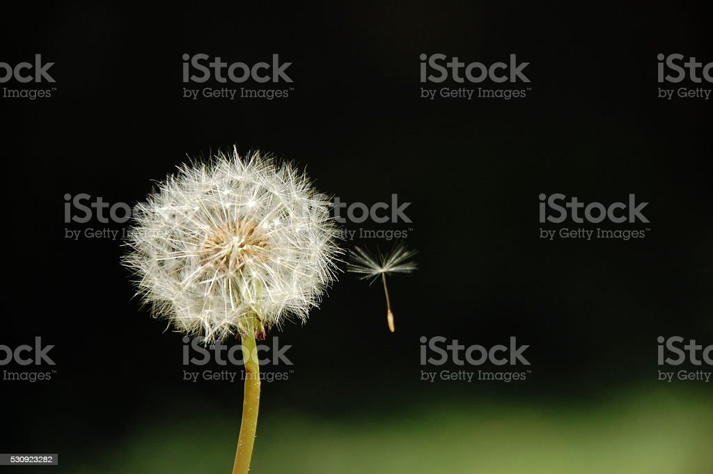 Dandelion and its flying seed isolated in black background stock photo