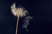 dandelion and its flying seeds on a dark background