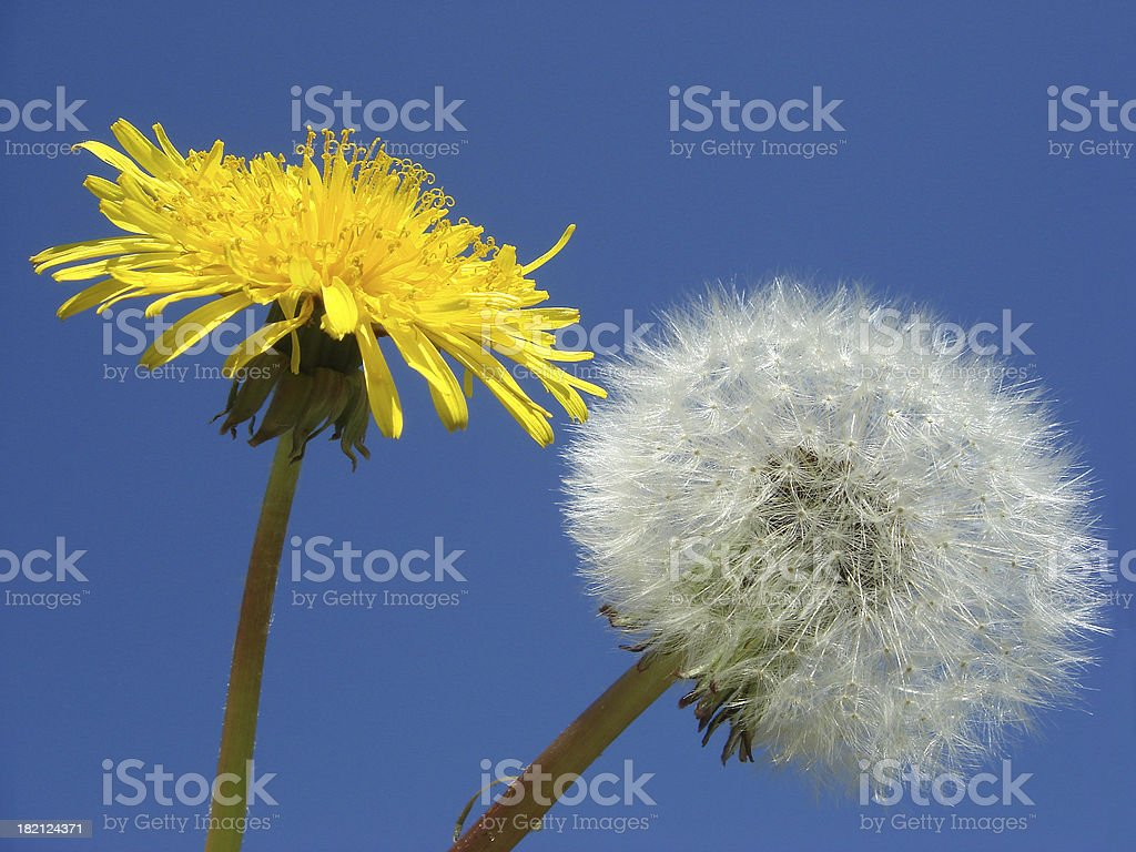 Dandelion and seed royalty-free stock photo