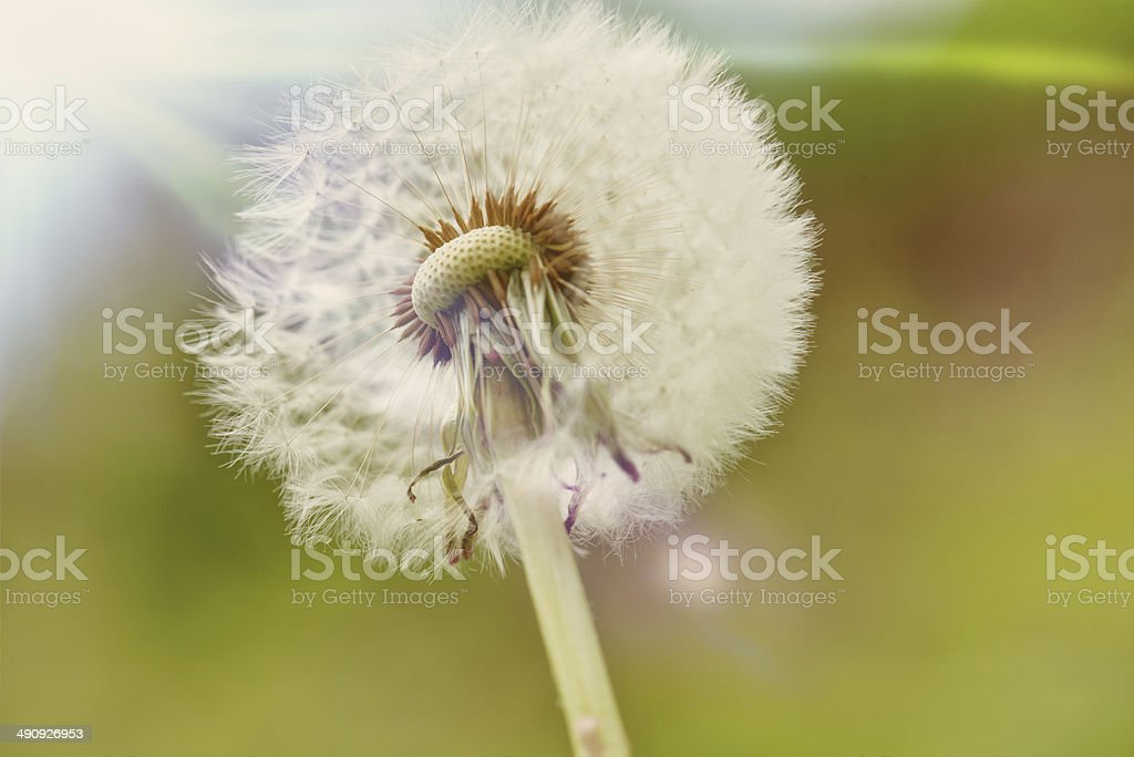 Dandelion and Sun royalty-free stock photo