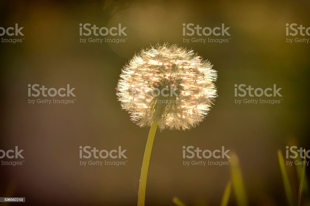 Dandelion At Sunset stock photo