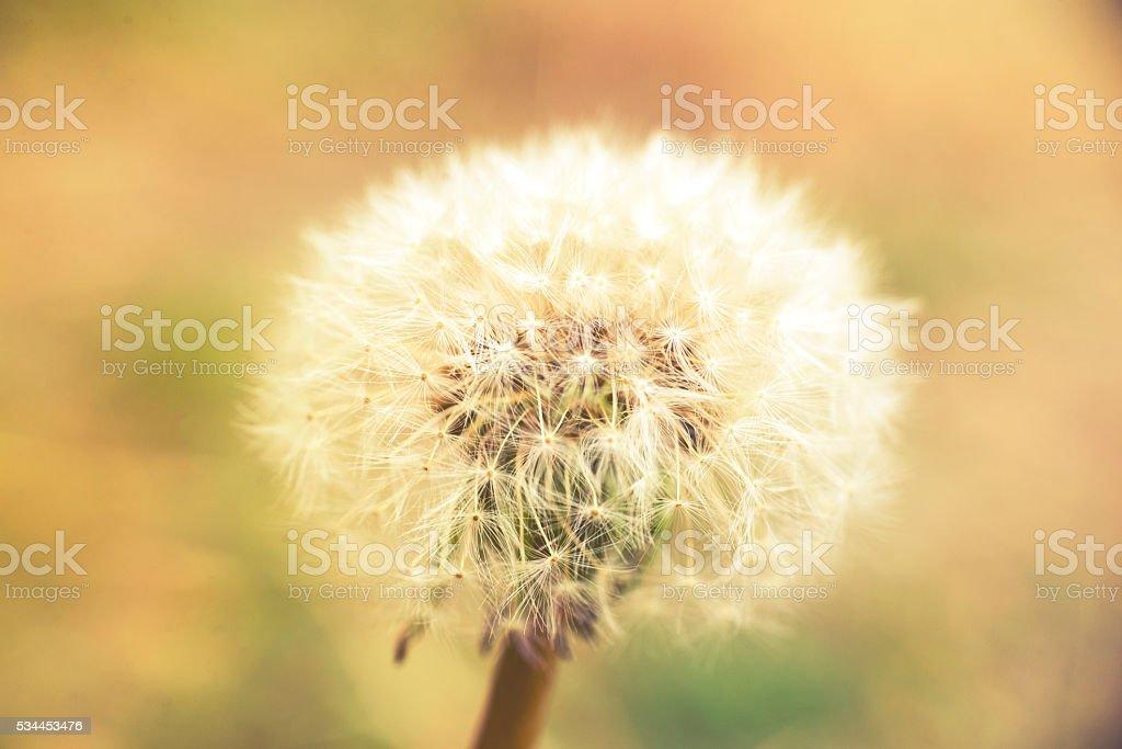 Dandelion At Sunset, vintage effect stock photo