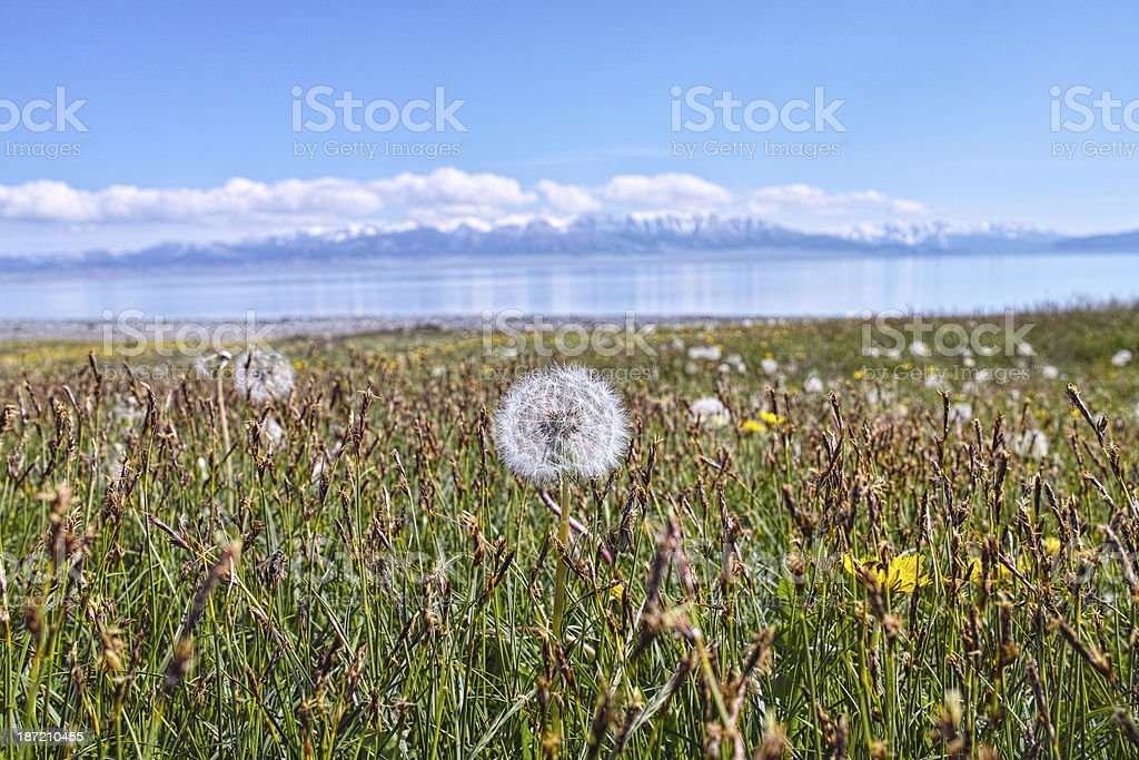 Dandelion at the lakeside royalty-free stock photo