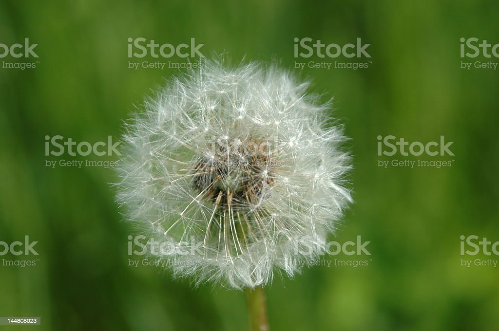 dandelion ball stock photo