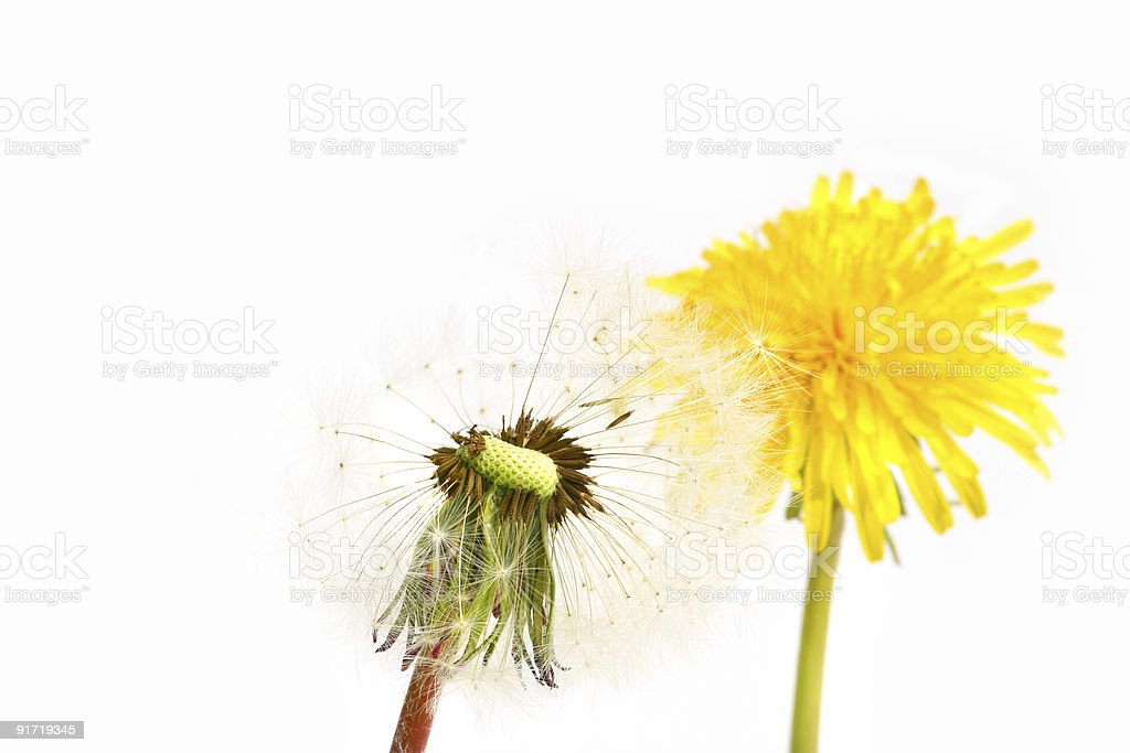 Dandelion before and after stock photo