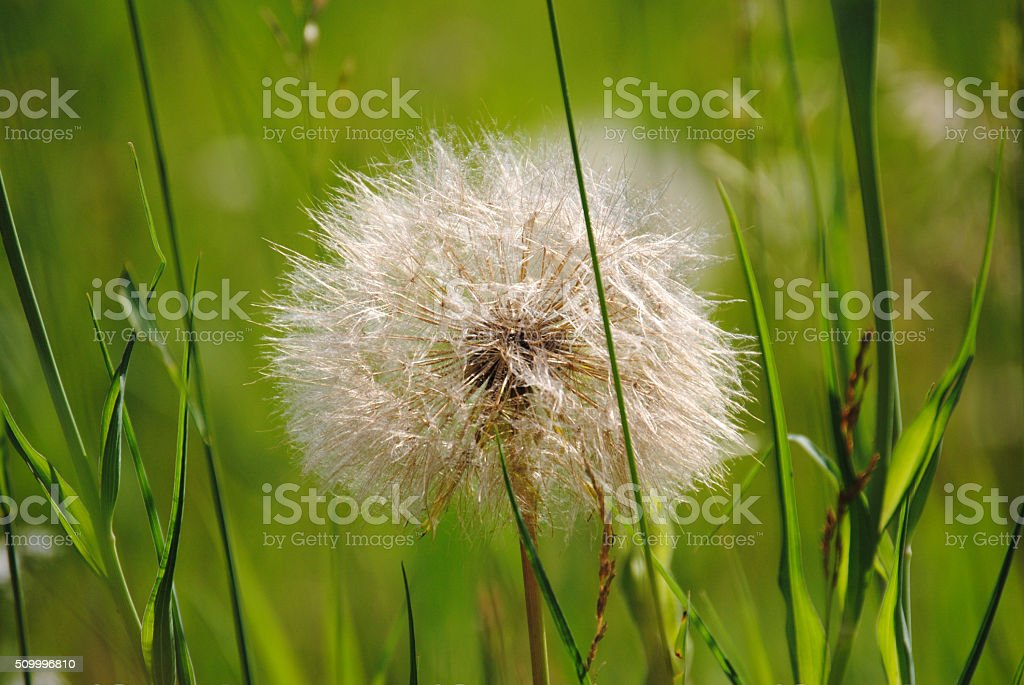 dandelion bloom royalty-free stock photo