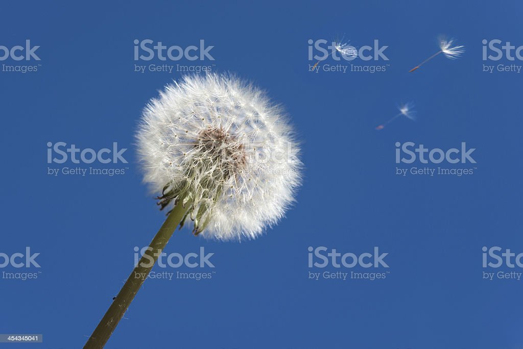 Dandelion blowball and flying seeds stock photo