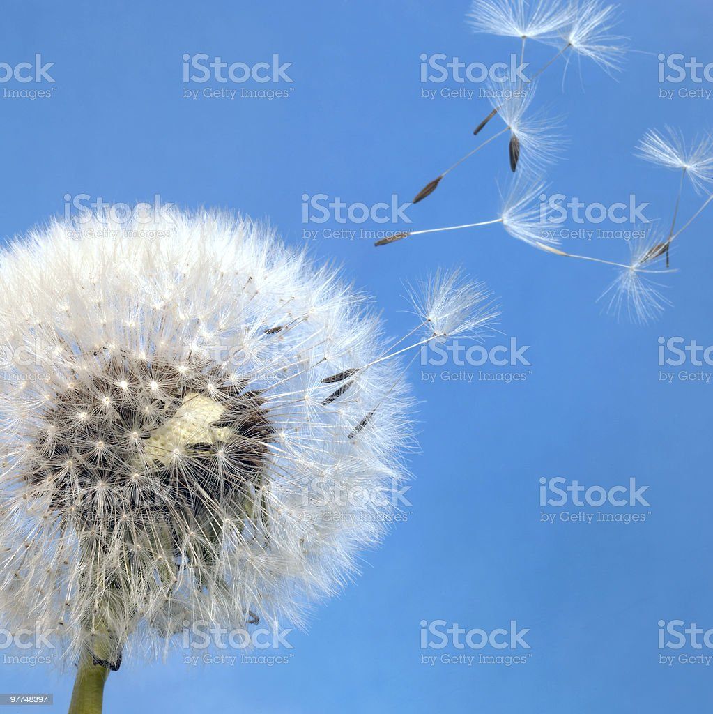 dandelion blowball and flying seeds royalty-free stock photo