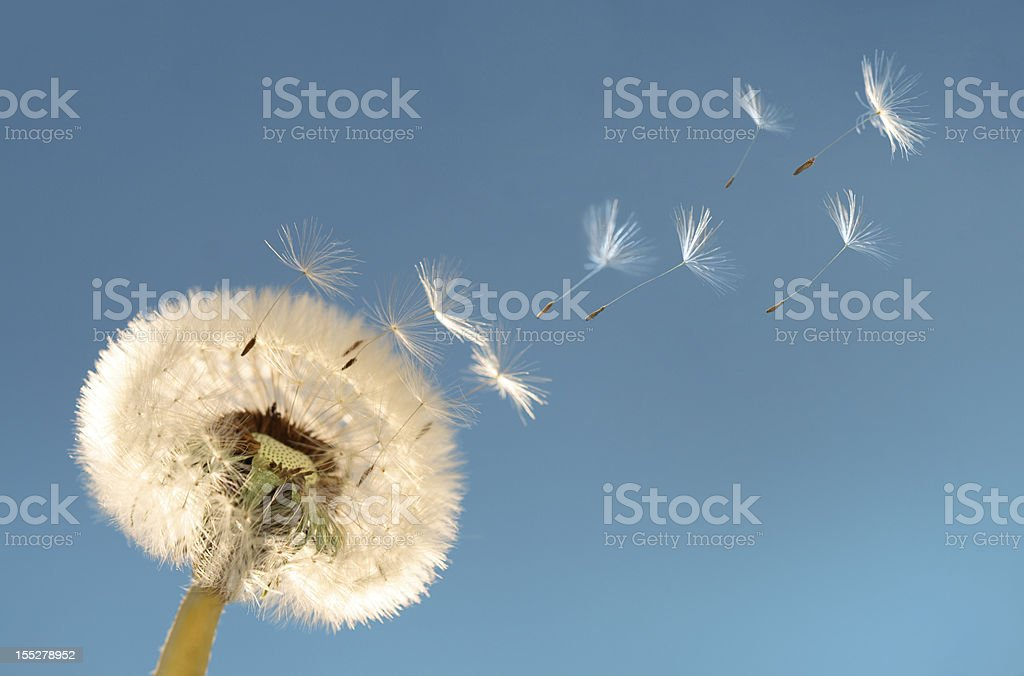 Dandelion blowball stock photo