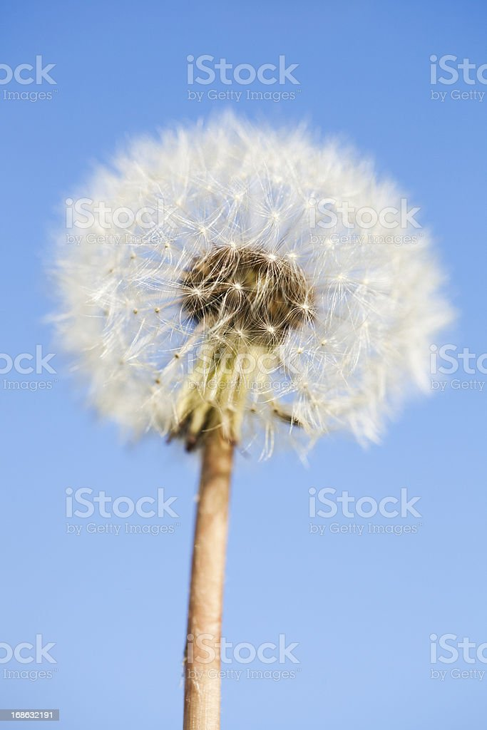 dandelion blowball royalty-free stock photo