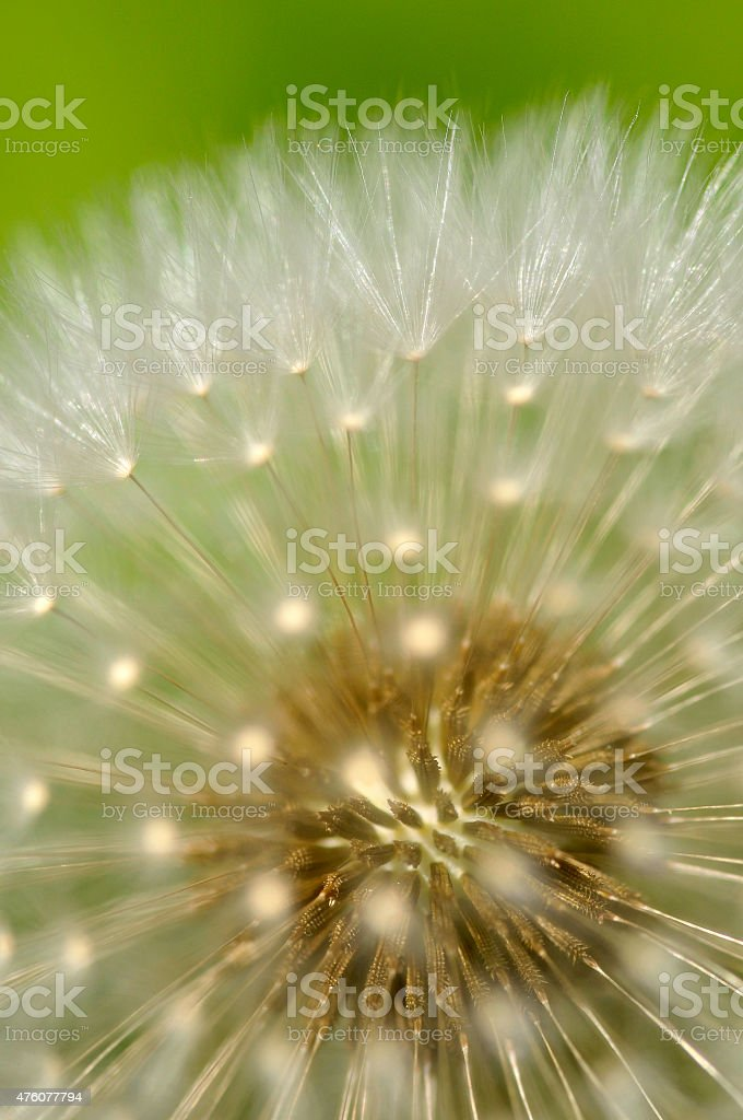 Dandelion Blowball stock photo