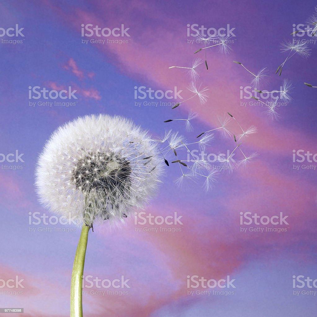 dandelion blowballin purple evening sky royalty-free stock photo