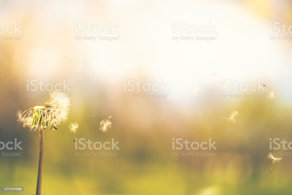 Dandelion blowing in the wind with blurred background stock photo