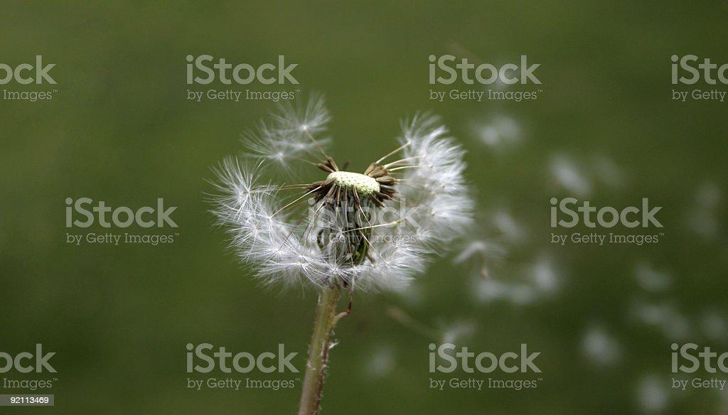 Dandelion Blown Away royalty-free stock photo